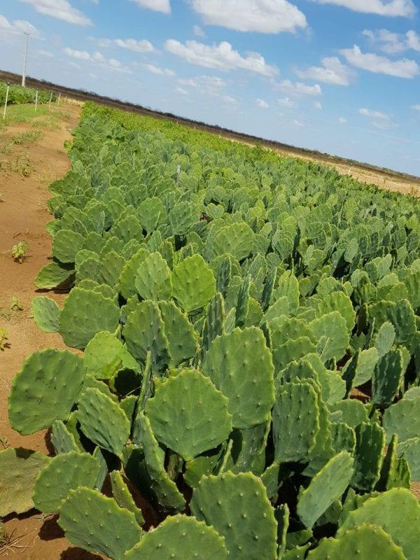 Governo inicia distribuição de palma forrageira a agricultores